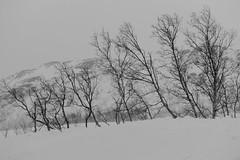 faire front (mimu_13) Tags: arbres europe no nor norvège norway troms tromsfylke tromso tromsø hiver nature saisons vinter winter samsungnx nx500 noiretblanc noirblanc blackwhite blackandwhite