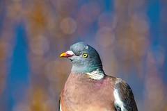 This is a hard pose to hold so can you hurry already (Paul Wrights Reserved) Tags: pigeon portrait bokeh bird birding birds birdphotography birdwatching birdportrait beautyofthebeast smileonsaturday sundaysliders sliderssunday