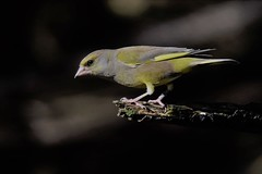Green Finch  (Carduelis chloris)  Dungeness RSPB (GrahamParryWildlife) Tags: global 150600 sport sigma mk11 mk2 7d canon groomed parry graham grahamparrywildlife kentwildlife rspb dungeness kent outdoor bird great feather detail fat animal green finch carduelis chloris