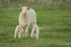 Mom + Twin Lambs (Brad Lackey) Tags: lamb twins baby newborn ewe sweetseasonsfarm valleyhead alabama sheepfarm farm rural fence livestock tamron150600mm d7200