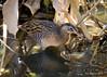 King Rail (Rallus elegans) (wandering tattler) Tags: bird wildlife rail kingrail king elusive shy wetlands marsh florida ralluselegans railus