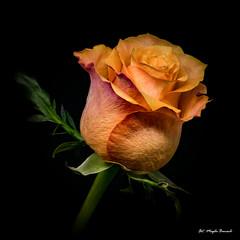 Orange rose (Magda Banach) Tags: canon canon80d sigma150mmf28apomacrodghsm colors flora flower nature plants rose orange