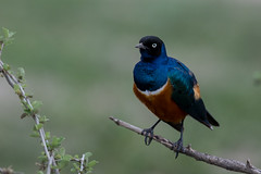 Superb Starling (Ring a Ding Ding) Tags: 2018 africa bird lamprotornissuperbus ndutu nomad serengeti superbstarling tanzania canonf28300mm nature safari wildlife arusharegion ngc npc