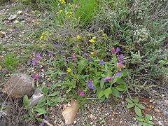 Echium bonnetii und was noch? auf Fuerteventura, NGIDn1476775837 (naturgucker.de) Tags: ngidn1476775837 naturguckerde 1038097865 1062798284 938872571 chorstschlüter