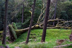 Fallen tree (dan487175) Tags: tree fallen forest outdoors wales green nature walk hike