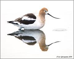 Mirror Image (pandatub) Tags: bird birds avocet americanavocet baylands paloalto reflection