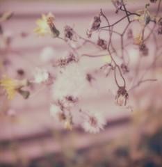 "Dandelions (dreamscapesxx) Tags: ""snapitseeit"" polavoid ""barrytonmi"" ""softanddelicate"" ""intheyard"" outdoors outside dandelions ""polaroidoriginalssx70film"" ""sx70sonaronestep"" polaroid instant"