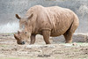 Maoto (ToddLahman) Tags: maoto mammal male outdoors beautiful portrait southernwhiterhino rhino sandiegozoosafaripark safaripark canon7dmkii canon canon100400 closeup escondido eyelock