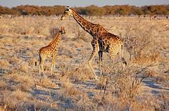 Dreikäsehoch... (Zoom58.9) Tags: tier tiere wildtiere wildnis giraffen steppe bäume sträucher namibia etosha gräser gras afrika landschaft natur animal animals wildlife wilderness giraffes trees shrubbery grasses grass africa landscape nature safari canon eos 50d tierfamilie animalfamily