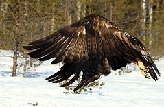 The golden eagle (irio.jyske) Tags: landscapepic lanscape landscapes landscapephotograph landscape landscapephotos landscapephotographer lakescape naturepic naturescape naturephotos naturephotographer naturepics naturephotograph naturepictures naturephoto nature winter snow ice cold animal bird goldeneagle eagle forest swamp trees colors beauty strong big