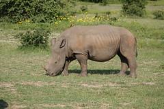 Southern White Rhinoceros (jdf_92) Tags: southafrica safari rhinoceros ceratotheriumsimumsimum ceratotheriumsimum southernwhiterhinoceros bigfive limpopo limpopoprovince africa mammal baby