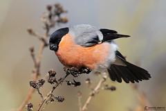 DSP02017 - Bullfinch ♂ (Pyrrhula pyrrhula) (fotodave22) Tags: