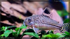 corydoras (kelvinj_funlab) Tags: kelvinjong funlab d810 nikon tamron90mmf28spdimacro11vcusd tamron macro kenko singapore handheld indoor aquarium