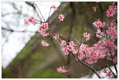 20180317-013 (Aaron Cat) Tags: aaronhsu canon eos 5d markiii canoneos5dmarkiii carlzeissplanart1450 flowers sakura hsinchu taiwan 竹東 新竹 台灣 blossom flower tree