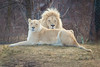 Together (A Great Capture) Tags: mane female make couple march toronto torontozoo animals animal lion lions whitelions agreatcapture agc wwwagreatcapturecom adjm ash2276 ashleylduffus ald mobilejay jamesmitchell on ontario canada canadian photographer northamerica torontoexplore winter l'hiver 2018 zoosofnorthamerica