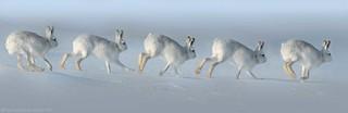 Mountain Hare 18ig1773 Running