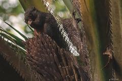 SCOIATTOLO MANGIA SULLA PALMA    ----    SQUIRREL EATS ON THE PALM (Ezio Donati is ) Tags: natura nature animali animals foresta forest africa costadavorio bingervillearea