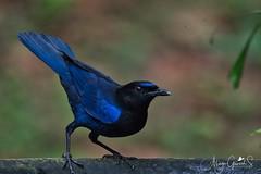 Malabar whistling Thrush (alagu_stanley) Tags: nikon nikon200500mm nikond500 nikongears wildlife birds wildbirds birdsofindia nature birdphotography natgeonationalgeographic sanctuaryasia