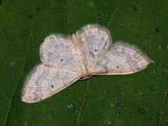 Idaea biselata - Small fan-footed wave - Малая пяденица точечная (Cossus) Tags: geometridae idaea sterrhinae пестово пяденица 2009