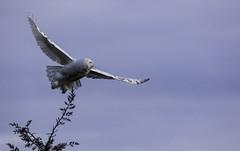 Off to a new branch. (kallo39) Tags: snowyowl ontario canada