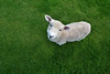 Tame Lamb (andrewrosspoetry) Tags: greengrass nz