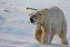 Brrrrrr...... (joannekerry) Tags: polarbear projectpolar bear snow yorkshirewildlifepark wildlife nature canon