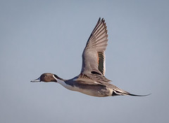 Northern Pintail Drake (tresed47) Tags: 2017 2018 201802feb 20180227newjerseybirds birds canon7d content ducks ebforsythenwr february folder newjersey northernpintail peterscamera petersphotos places season takenby us winter ngc npc