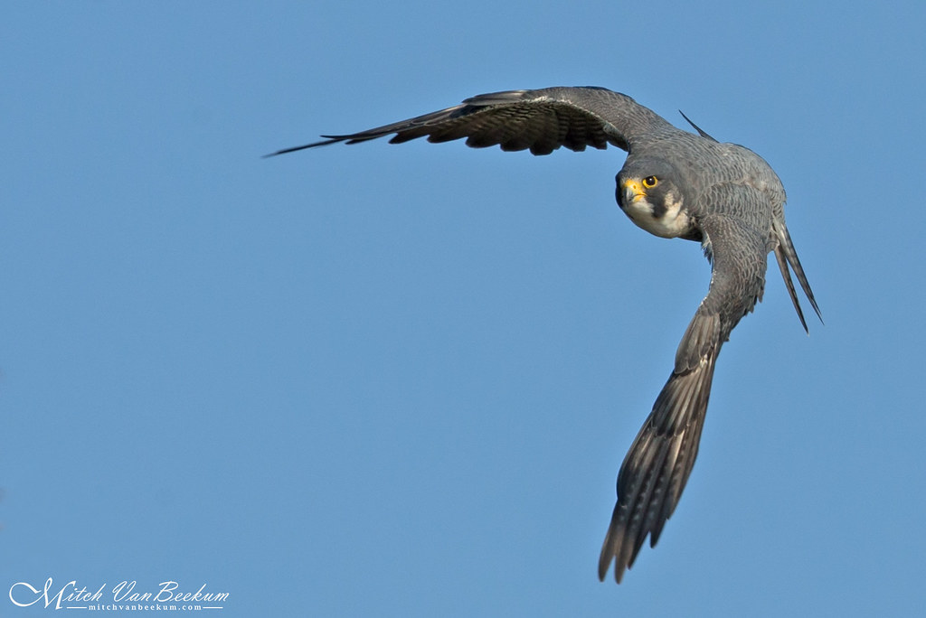 Head On Beauty! (Peregrine Falcon)