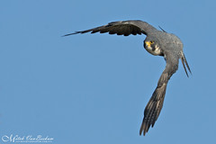 Head On Beauty! (Peregrine Falcon) (Mitch Vanbeekum Photography) Tags: peregrinefalcon flight inflight fly flying falcoperegrinus statelinelookout alpine nj mitchvanbeekum mitchvanbeekumcom canon14teleconvertermkiii canoneos1dx canonef500mmf4lisiiusm blue bluesky newjersey