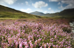 Wrynose Bottom Up Close (Benjamin Driver) Tags: wrynosepass wrynose wrynosebottom pass bottom hardknott cumbria lake district lakedistrict harter harterfell fell heather purple pink green blue clouds cloud colour complementary complementarycolours foreground shallow depth field depthoffield shallowdepthoffield macro wide 1835mm 2017 summer midday clear grass nature scape land landscape landscapes quiet walking hills