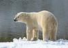 Living on the Edge (Robertoboy - Creative Nature & Wildlife) Tags: polarbear