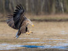 Landing Eagle (eric-d at gmx.net) Tags: seaeagle seeadler adler eagle eric