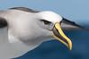 Buller's Albatross (Helen Cunningham) Tags: nikkorafs200500mm d500 bullersalbatross tasmania eaglehawkpelagic
