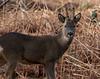 Roe Deer (dave.pix2013) Tags: grosmont roedeer