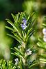 Romarin en Fleur (GerardMarsol) Tags: romarin fleur printemps nikoniste verdure soleil sud