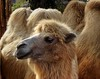 Humped, but happy (Tery14) Tags: beautyofthebeast smileonsaturday camel budapest zoo hungary