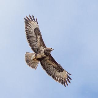 buizerd buzzard buteo in flight