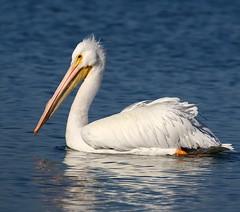 American White Pelican (Darts5) Tags: americanwhitepelican whitepelican pelican pelicans bird birds 7d2 7dmarkii 7dmarkll 7d2canon ef100400mmlll closeup canon7d2 canon7dmarkll canon7dmarkii canon canonef100400mmlii