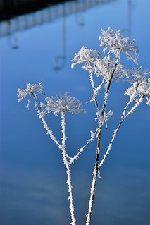 frosted umbellifer by the river