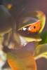 Lové dans le buis (anthony-papillon) Tags: coccinelle ladybug macro