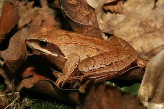 Rana temporaria Linnaeus, 1758 = Rana rufa Lacépède, 1788, la grenouille rousse, the grass frog.