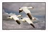 Snow Geese ~ Layover (Johnrw1491) Tags: snow geese goose wildlife habitat behavior nature art oregon marshes waterfowl birds migration
