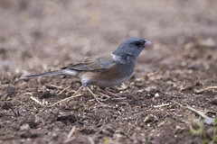 Dark-eyed Junco - Pink-sided - Cave Creek Ranch - Portal, AZ (wilsonchristopheradam) Tags: darkeyedjunco pinksided cavecreekranch portal az arizona bird birding nikon nikonbirdhunter adamwilson2018