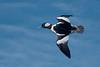 BuffleheadBlue (jmishefske) Tags: 2018 bufflehead d850 foxriver nikon march wings male wisconsin drake duck flight bif waukesha county bird