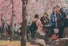 城南宮|京都 (KaguraYanki) Tags: canon650d 京都 城南宮 梅花 梅花雨 梅 枝垂梅 しだれ梅 源氏物語 椿まつり 花之庭 花見 kyoto japan photography