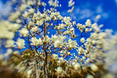 flower-of-mulan-white-magnolia-with-blue-sky-background_170318 (kazua0213) Tags: sd quattro sigma soratama flower sky
