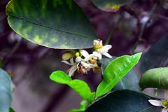 DSC_4786-61 (jjldickinson) Tags: nikond3300 102d3300 wrigley longbeach nikon1855mmf3556gvriiafsdxnikkor promaster52mmdigitalhdprotectionfilter insect bee honeybee apismellifera flower bloom blossom citrus lime fruit