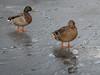 Making prints.jpg (Stephen B Jessop) Tags: pond olympus prints england nature magdale 2018 duck ice westyorkshire em5mk2