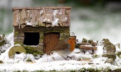 Robin in snow with small house  (2) (Simon Dell Photography) Tags: snow uk sheffield hackenthorpe s12 simon dell photography 2018 minibeastfromtheeast weather nature wildlife birds robin red breast bird cute table design micro garden model cottage house borrower