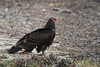 Turkey Vulture - 1 (fksr) Tags: turkeyvulture cathartesaura drakesestero beach carrion cormorant bird pointreyesnationalseashore marincounty california